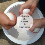 Life Cycle of a Chicken Plus Egg Science