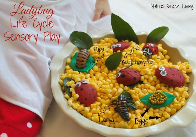 Ladybug Life Cycle Activities, Preschool activities, toddler activities, Science, Sensory play, ladybug craft, Spring, Printables,www.naturalbeachliving.com