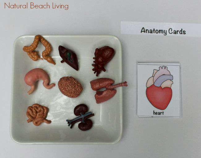 Awesome Montessori Human Anatomy Activities with Free Printables, Great health and anatomy books for kids, an entire Human Anatomy Unit Study for Kids
