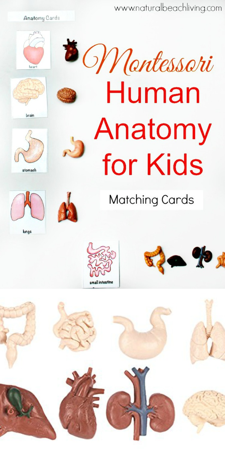 Unit study colors preschool - Awesome Montessori Human Anatomy Activities With Free Printables Great Health And Anatomy Books For Kids