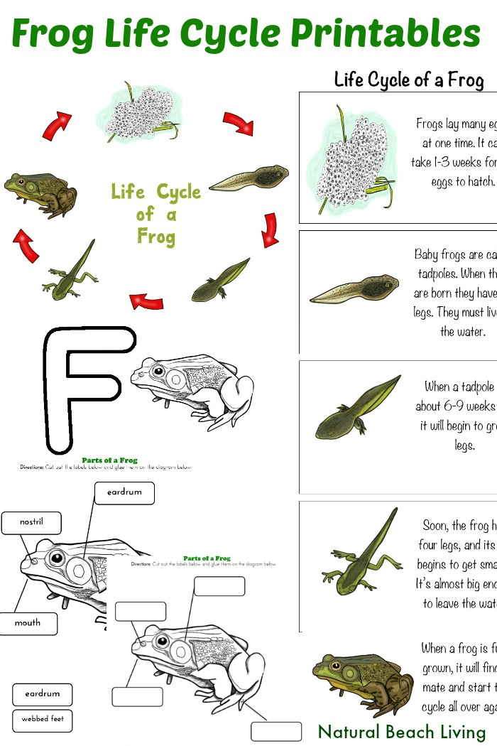 Frog Life Cycle Activities & Free Printables
