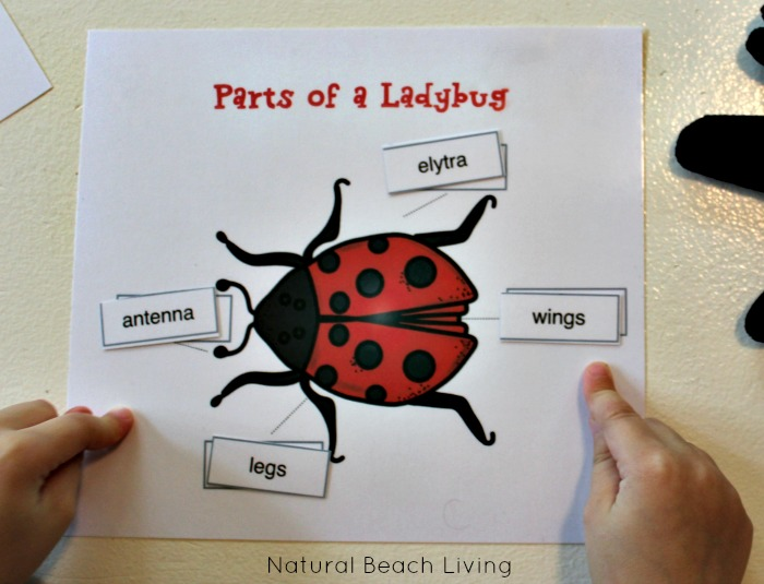 Awesome Ladybug Life Cycle Activities and Free Printables for kids, Natural learning, Science, Hands on learning, Preschool Alphabet activities, Great Books