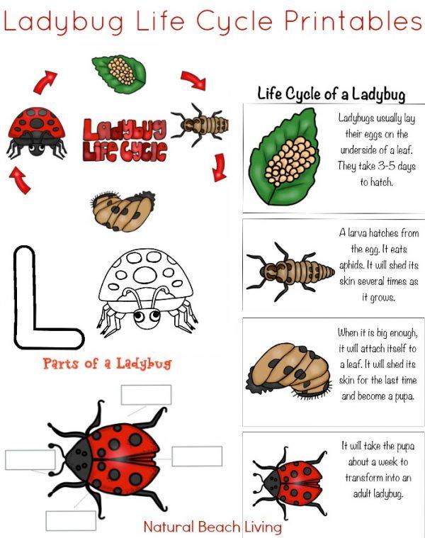 Animal life cycle for kids