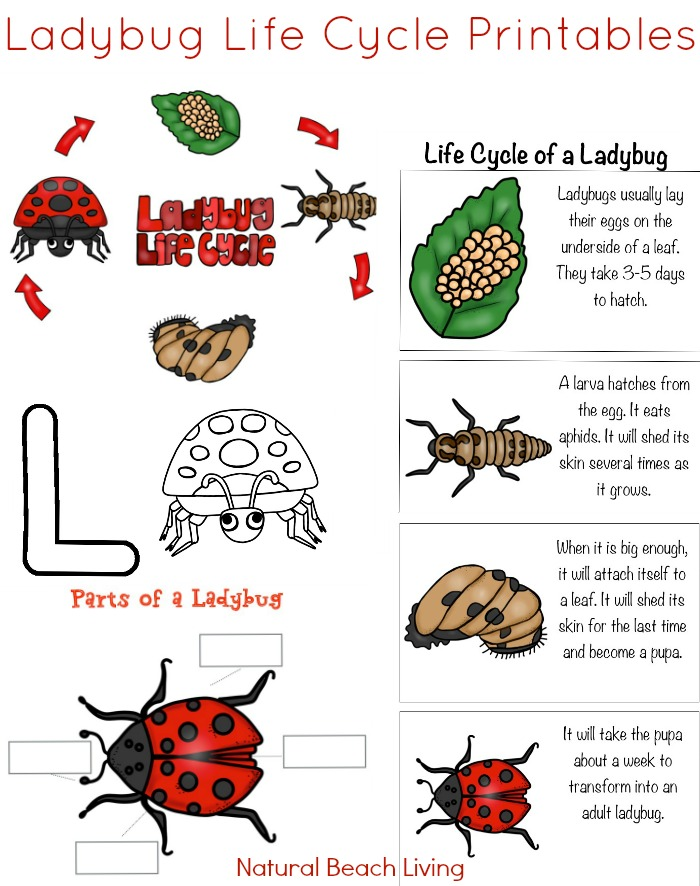 The Best Ladybug Life Cycle Activities & Free Printables