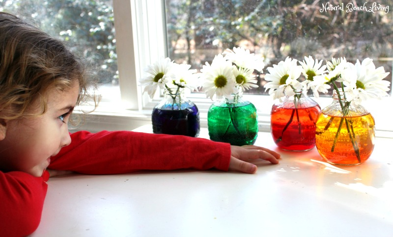 Easy Flower Science Activities for Preschool and Kindergarten, Fun Flower experiment for kids, Color changing flowers, Nature Kids activities for homeschool